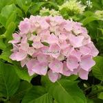 Hydrangea macrophylla Belle Séduction (4)