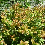 Leucothoe axillaris Curly Red