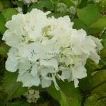 Hydrangea macrophylla Jumbo
