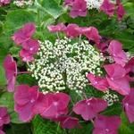 Hydrangea macrophylla Rotschwanz