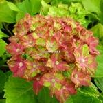 Hydrangea macrophylla Schloss Wackerbach
