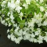 Hydrangea serrata Shirofuji (1)
