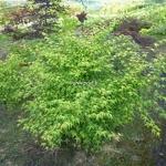 Acer palmatum Ueno Yama