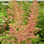 Astilbe Maggy Daley