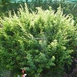 Berberis thunbergii Kelleriis (2)