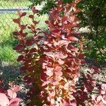 Berberis thunbergii Orange Rocket (2)