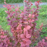 Berberis thunbergii Orange Rocket (4)