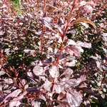 Berberis thunbergii Rosy Glow (1)