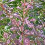 Berberis thunbergii Rosy Glow (2)