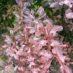 Berberis thunbergii Rosy Glow (4)