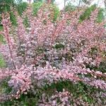Berberis thunbergii Rosy Glow (5)