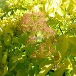 Cotinus coggygria Aurea (1)