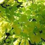 Cotinus coggygria Aurea (3)