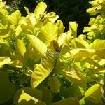 Cotinus coggygria Aurea (4)