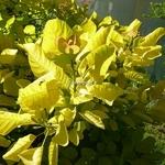 Cotinus coggygria Aurea (5)