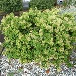 Cotoneaster lacteus (3)