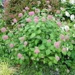 Hydrangea arborescens Invincibelle