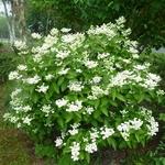 Hydrangea paniculata Daruma