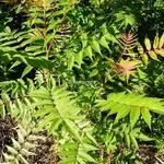 Sorbaria sorbifolia Sem (2)