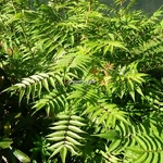Sorbaria sorbifolia Sem (3)