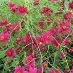 Coreopsis Limerock Ruby (4)