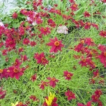 Coreopsis Limerock Ruby (5)