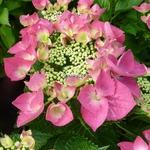 Hydrangea macrophylla Grasmucke