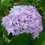 Hydrangea macrophylla Inspire (2)