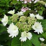 Hydrangea macrophylla Koria (2)