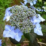 Hydrangea macrophylla Twist & Shout (2)