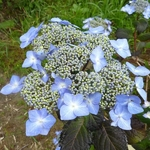 Hydrangea macrophylla Twist & Shout (3)