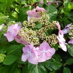 Hydrangea macrophylla Twist & Shout
