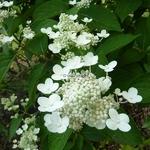 Hydrangea paniculata Daruma (1)