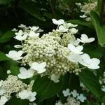 Hydrangea paniculata Daruma (2)