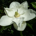 Magnolia grandiflora Exmouth (1)