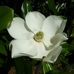 Magnolia grandiflora Exmouth (3)