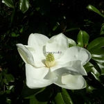 Magnolia grandiflora Exmouth (2)