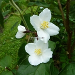 Philadelphus Starbright (4)