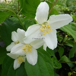 Philadelphus Starbright (5)