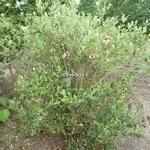 Acca sellowiana (1)