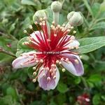 Acca sellowiana (3)