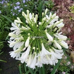 Agapanthus Artic Star (3)
