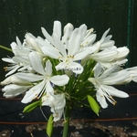 Agapanthus Artic Star (2)