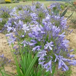 Agapanthus Purple Cloud (4)