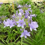 Agapanthus Purple Cloud (1)