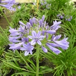 Agapanthus Purple Cloud (2)