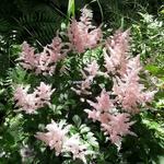 Astilbe Peach Blossom (1)