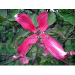 cornus-florida-purple-glory-(1)