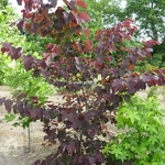 Cercis canadensis Forest Pansy (1)