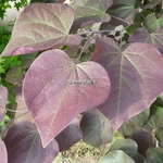 Cercis canadensis Forest Pansy (2)